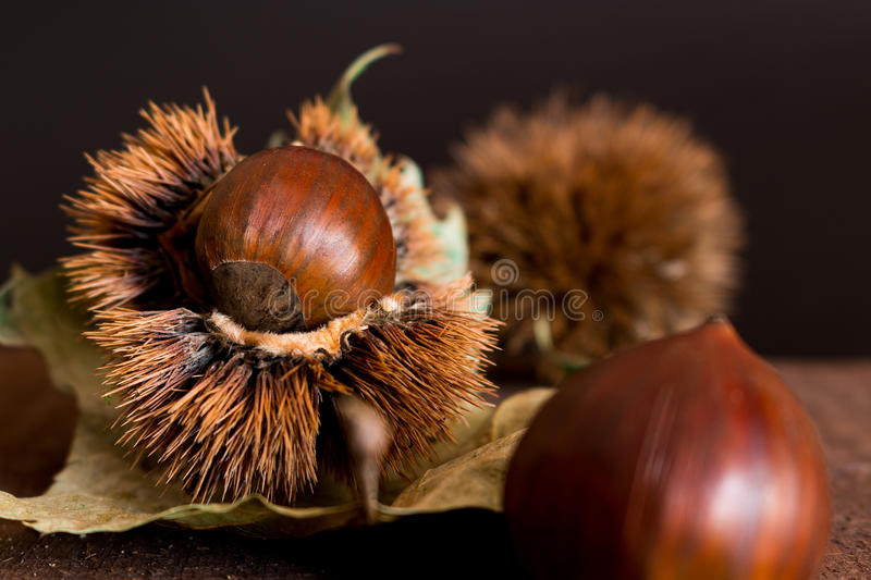 Curly chestnut royalty free stock images