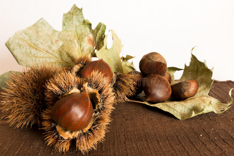 Curly chestnut royalty free stock photography