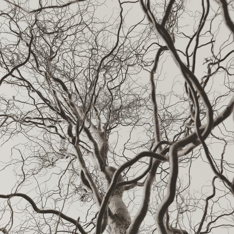 Curly corkscrew willow tree bare branches monochrome stock image