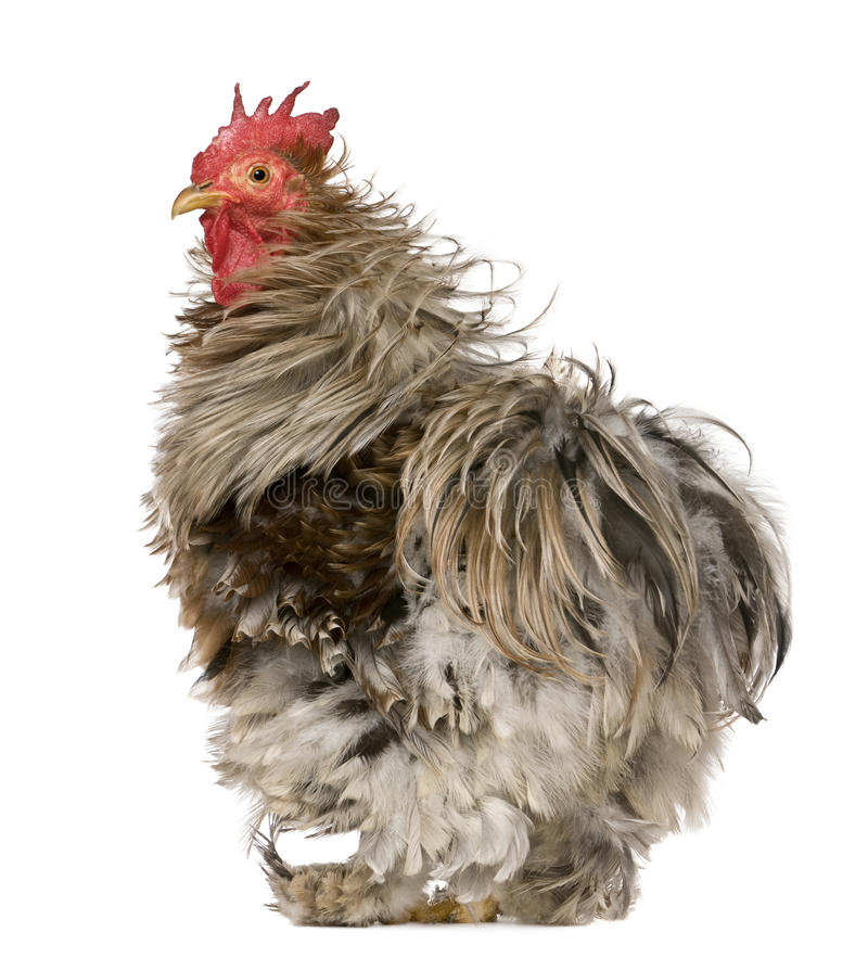 Free Curly Feathered Rooster Pekin, 1 Year Old Royalty Free Stock Photography - 15287617