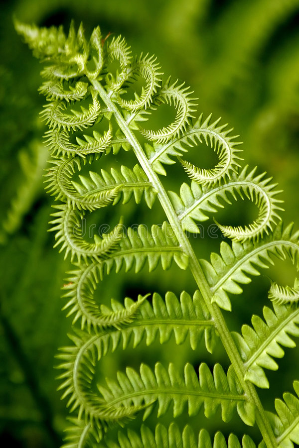 Curly fern stock photography