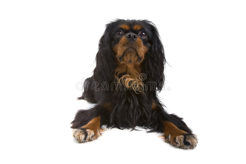 Curly haired dog. A view of a brown and tan curly haired dog isolated against a white background stock image