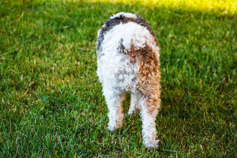 Curly Little Dog Back View. Curly Little Dog Walking on the Green Lawn. Back View royalty free stock image