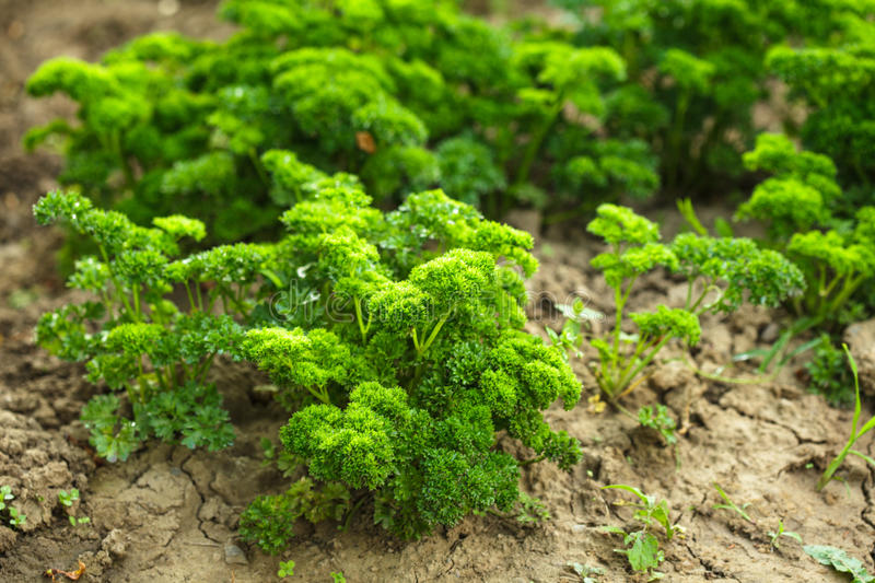 Download Curly parsley stock image. Image of agricultural, healthy - 25482563