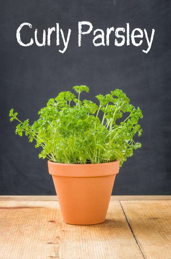 Curly Parsley in a clay pot stock photography