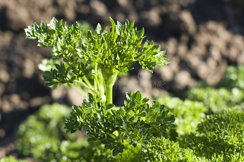 Download Curly parsley stock image. Image of parsley, natural - 31014863