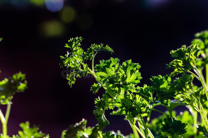 Curly parsley leaves closeup in the garden. Antioxidants aromatic background basket branch bunch chlorophyll condiment cooking copy culinary diet empty european royalty free stock images