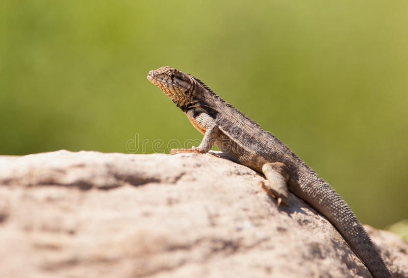 Curly-tailed Lizard stock images
