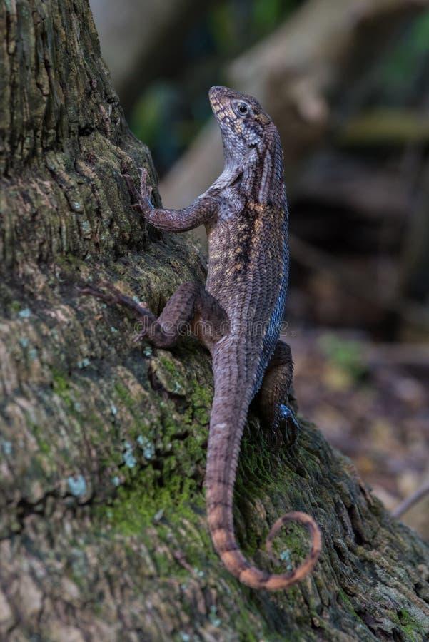 Curlytail-Eidechse in einem Baum lizenzfreies stockfoto