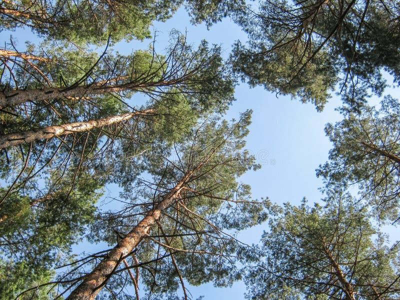 curonian dzień lasowego park narodowy sosnowy Russia mierzei lato pogodny perspektywa przeciw nieb błękitny sosnowym drzewom Doln obrazy stock