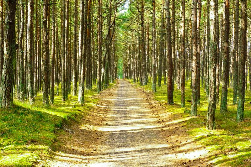 Curonian Spit Forest Path. Cycle path divides pine trees in the dancing forest on the Curonian Spit in Lithuania stock photos