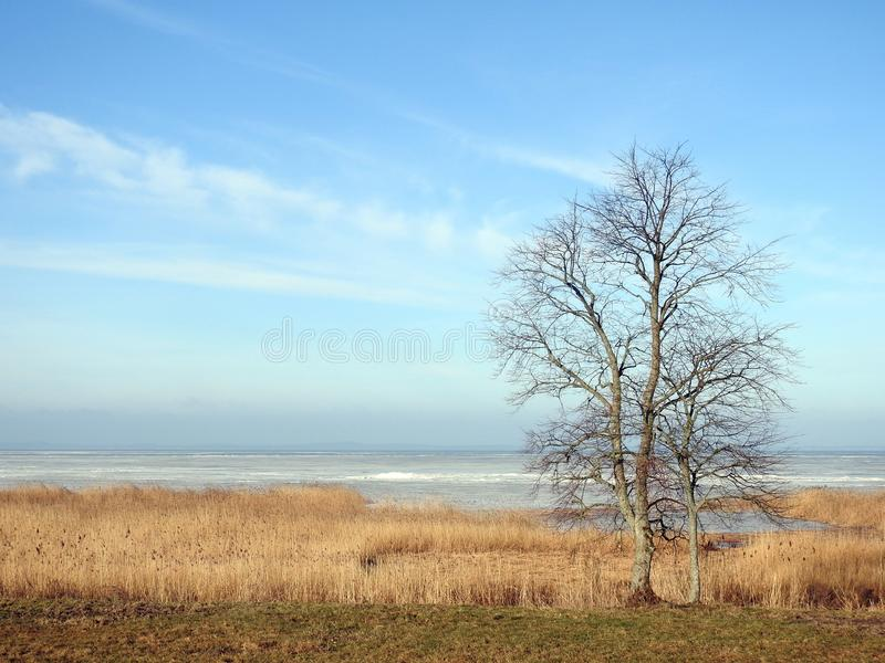 Curonian spit in ice, reed plants and tree, Lithuania. Beautiful trees and reed plants near Curonian spit in spring stock photo
