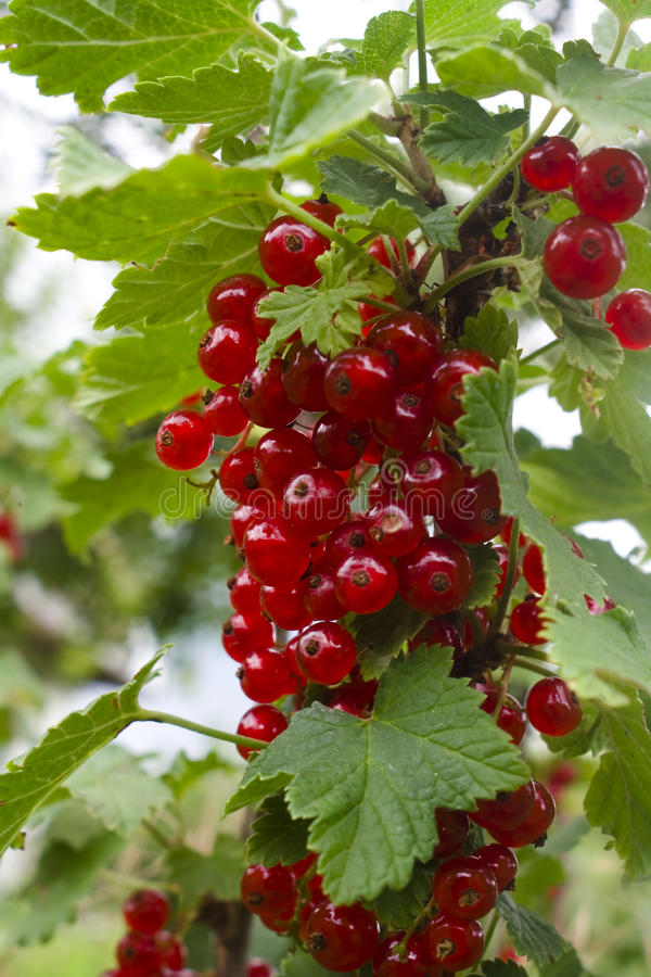 Currant royalty free stock image