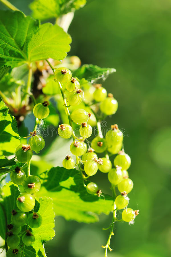 Download Currant stock photo. Image of ripening, berry, summer - 20242016