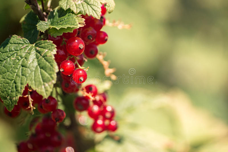 Currant on a branch in the sun stock images