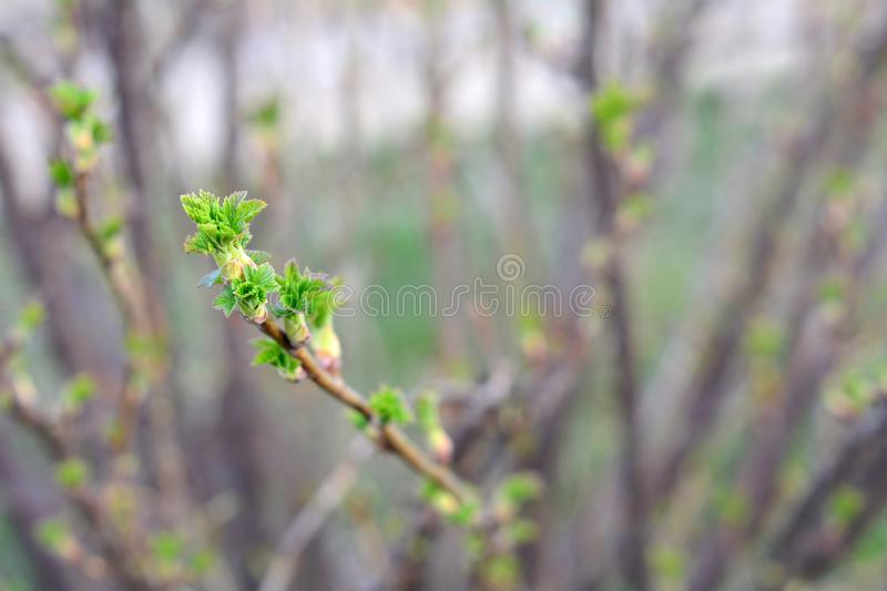A twig of currant bush with young green leaves in early spring. A currant bush twig with young green leaves in early springtime. Selective focus royalty free stock image