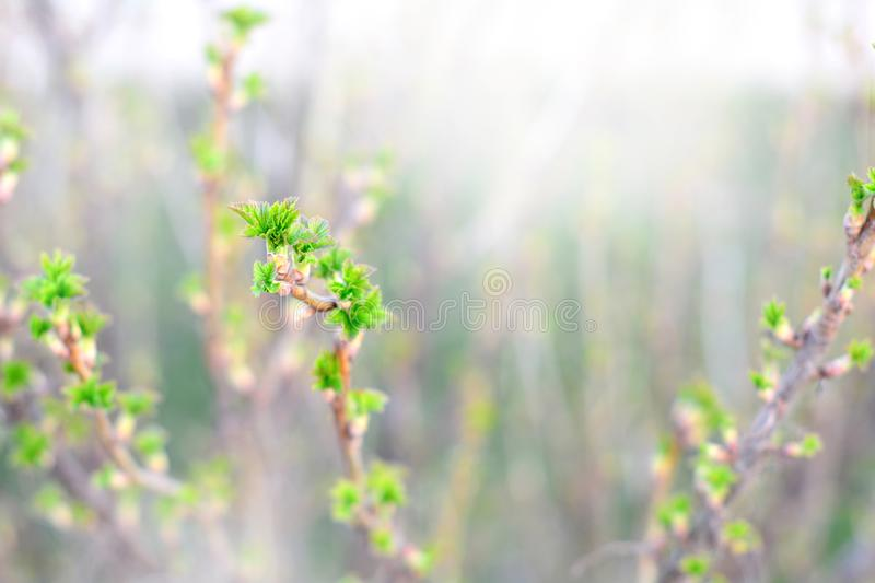 A twig of currant bush with young green leaves in early spring. A currant bush twig with young green leaves in early springtime. Selective focus stock photos