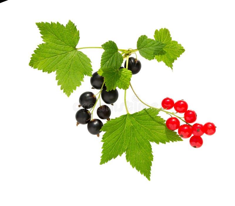 currant Corinto preto e vermelho com folha Montão do fruto fresco do corinto preto, vermelho imagem de stock