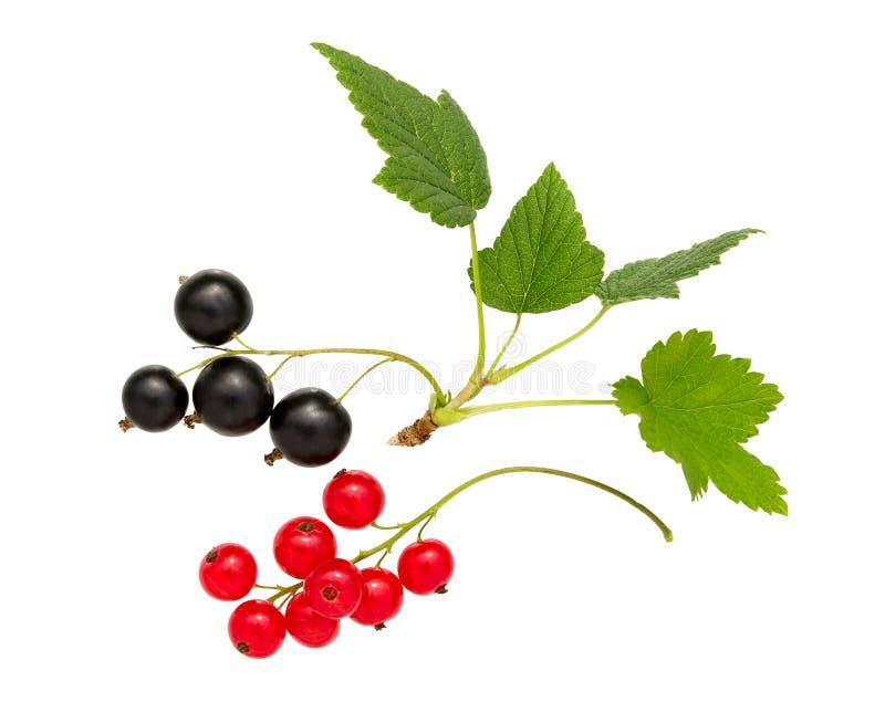 currant Corinto preto e vermelho com folha Montão do fruto fresco do corinto preto, vermelho imagem de stock royalty free