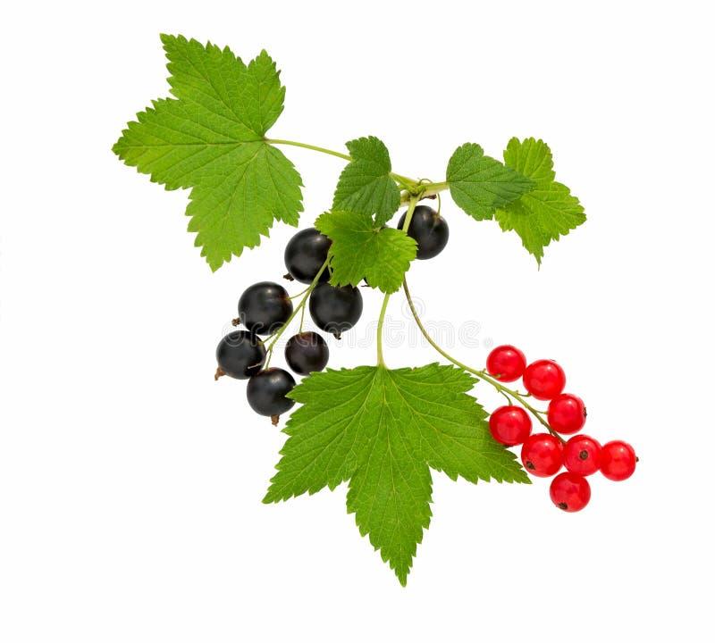 currant Corinto preto e vermelho com folha Montão do fruto fresco do corinto preto, vermelho imagens de stock royalty free
