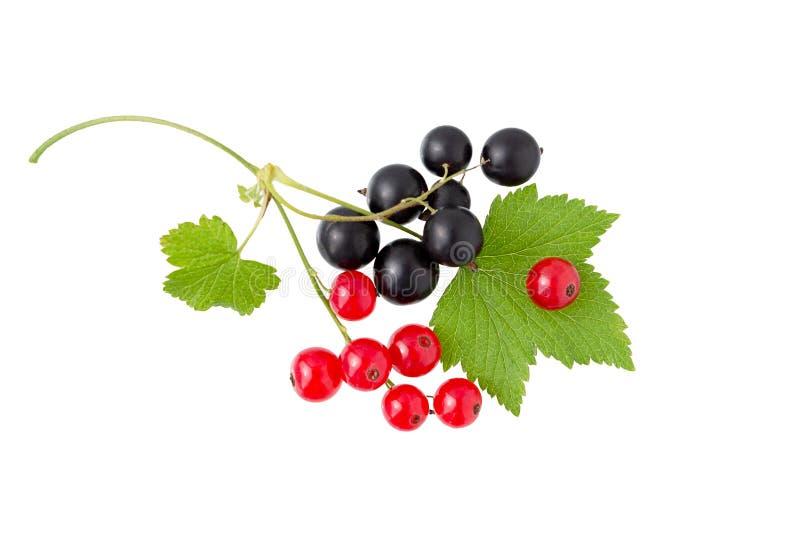 currant Corinto preto e vermelho com folha Montão do fruto fresco do corinto preto, vermelho imagens de stock