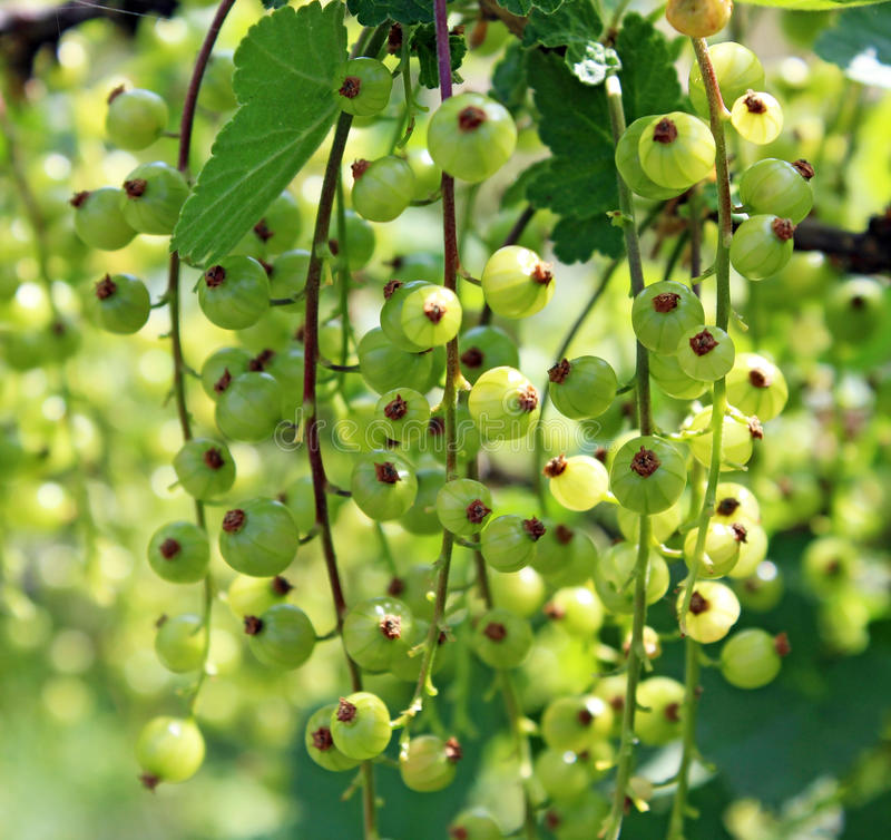 Download Currant Stock Photos - Image: 31316303