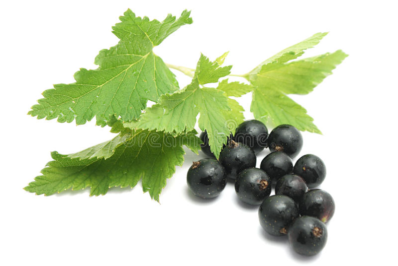 Currants with leaves stock images