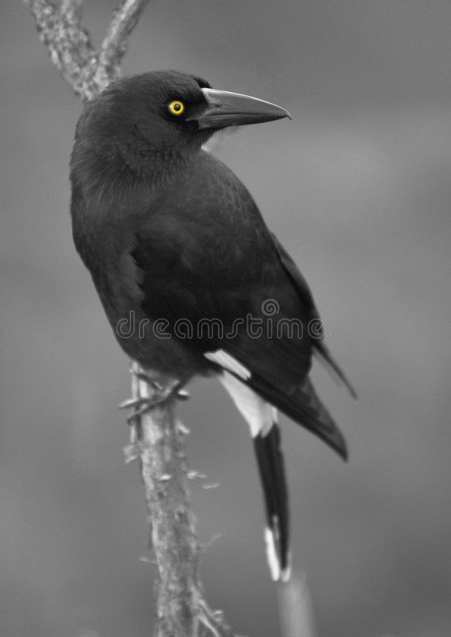 Currawong Eyed colore giallo immagini stock