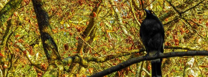 Currawong pezzato dell'uccello australiano fotografie stock libere da diritti