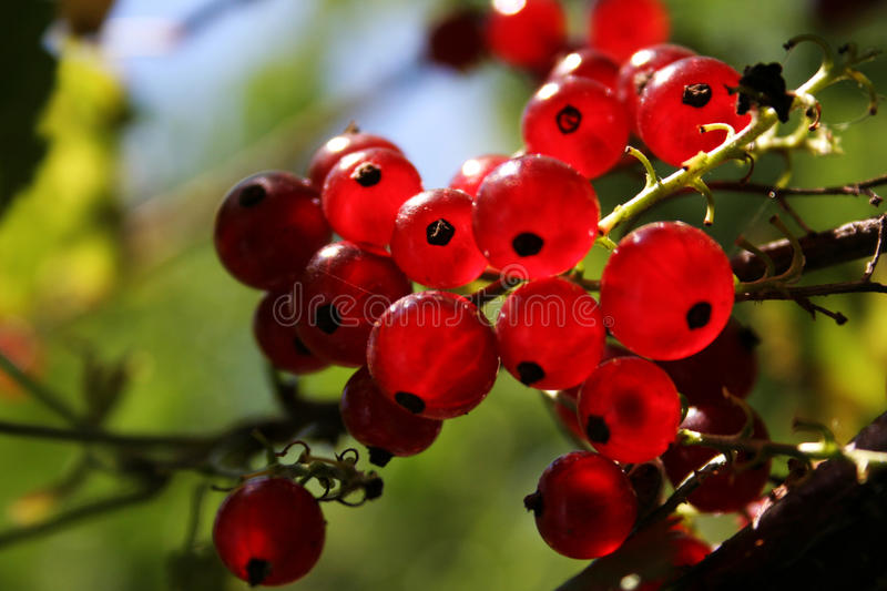 Currents. Red currents in the garden royalty free stock photography