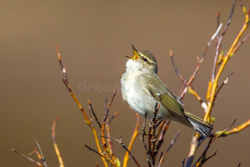 Download Curruca ártica brillante imagen de archivo. Imagen de pájaro - 41912287