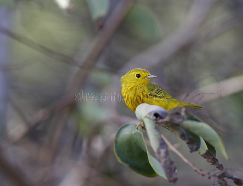 Curruca amarilla (petectia de Dentroica) fotos de archivo