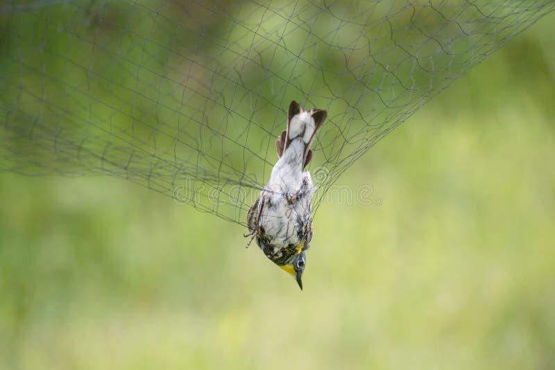 Curruca amarilla-rumped en la red fotos de archivo