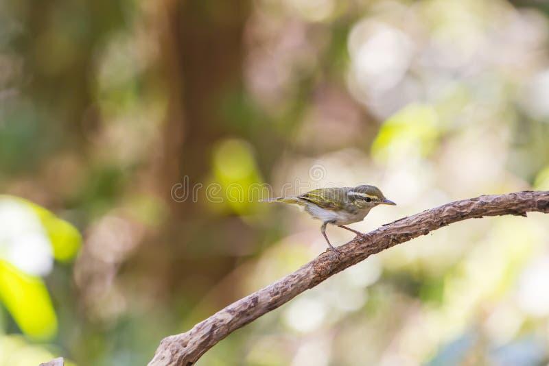 curruca Amarillo-cejuda en la rama en naturaleza fotos de archivo libres de regalías