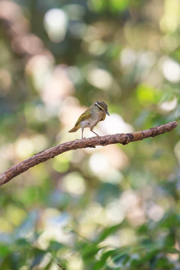 curruca Amarillo-cejuda en la rama en naturaleza imagen de archivo libre de regalías