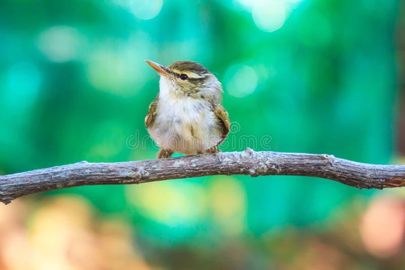 curruca Amarillo-cejuda en la rama en naturaleza imágenes de archivo libres de regalías