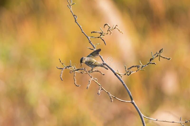 curruca Amarillo-cejuda, pájaro del warber de la hoja que se seca el axila en sujetador fotografía de archivo