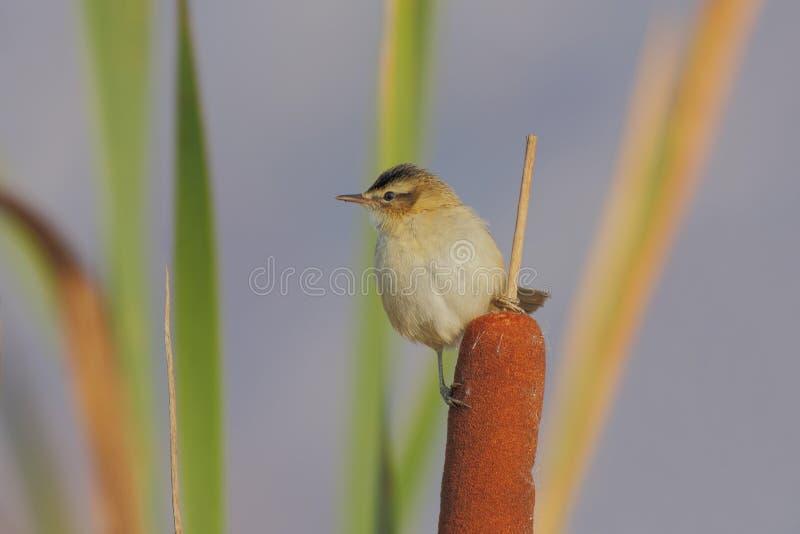 Download Curruca De Juncia (schoenobaenus Del Acrocephalus) Foto de archivo - Imagen de looking, travieso: 41919190