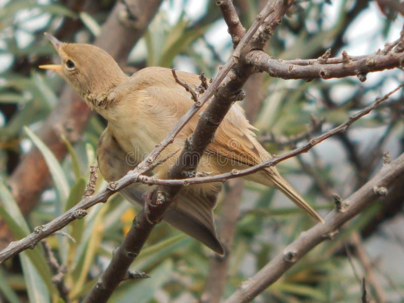 Curruca del pájaro en el salvaje foto de archivo