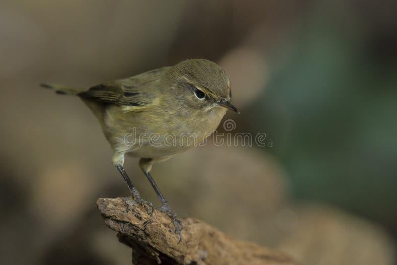 Curruca del sauce, trochilus del Phylloscopus Pequeño pájaro cantante fotos de archivo