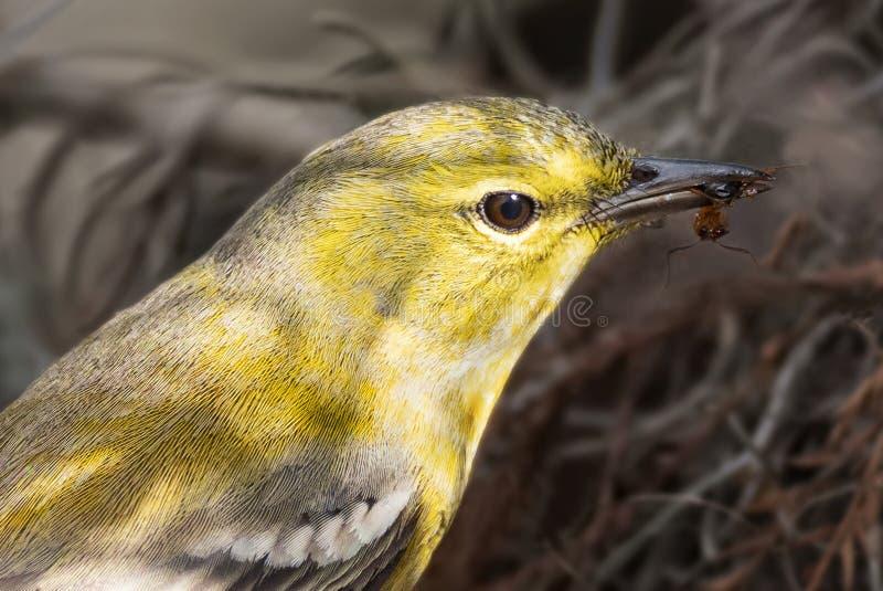 Curruca masculina adulta del pino Snacking en el santuario del pantano del sacacorchos cerca de Nápoles, la Florida fotos de archivo libres de regalías