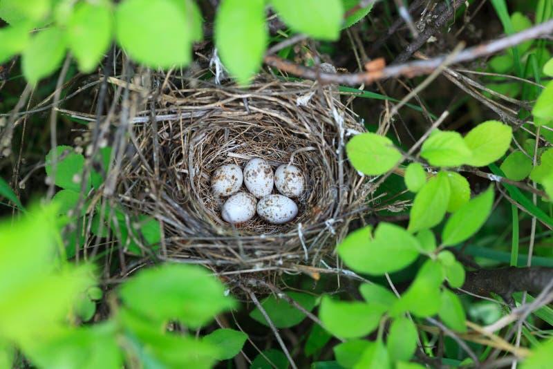 Curruca van Sylvia Het nest van Lesser Whitethroat in aard royalty-vrije stock afbeeldingen