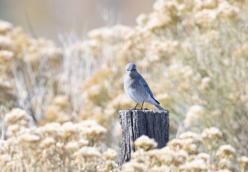 Currucoides de Sialia d'oiseau bleu de montagne avec été perché sur un courrier en bois image stock