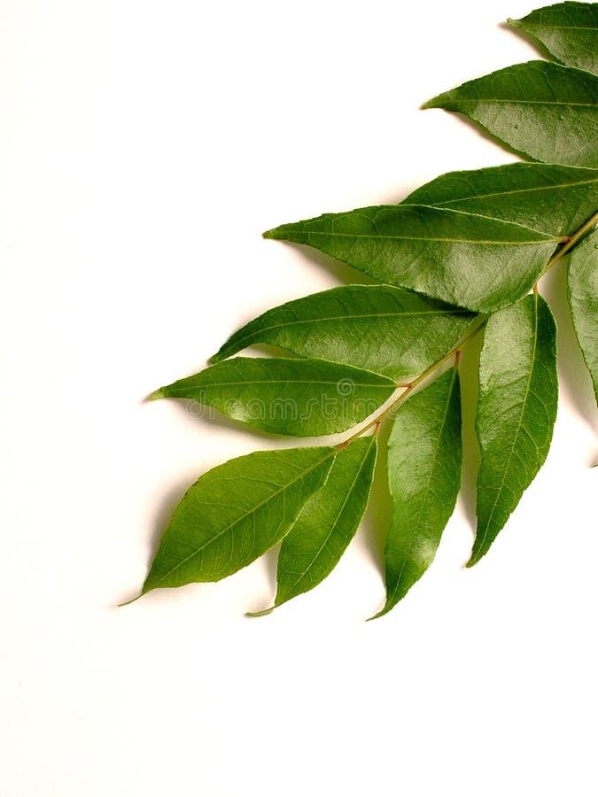 Curry Blätter stockfotografie