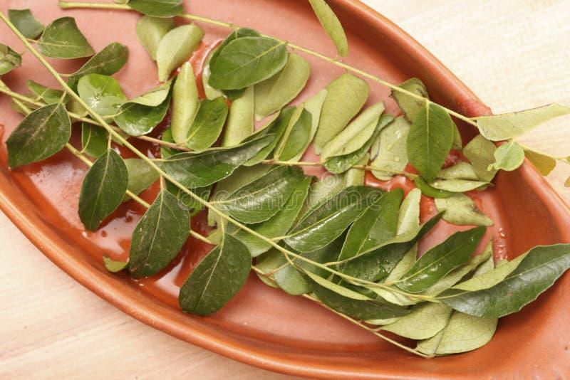 Curry'ego drzewo jest tropikalny tropikalny drzewo od India. obraz stock