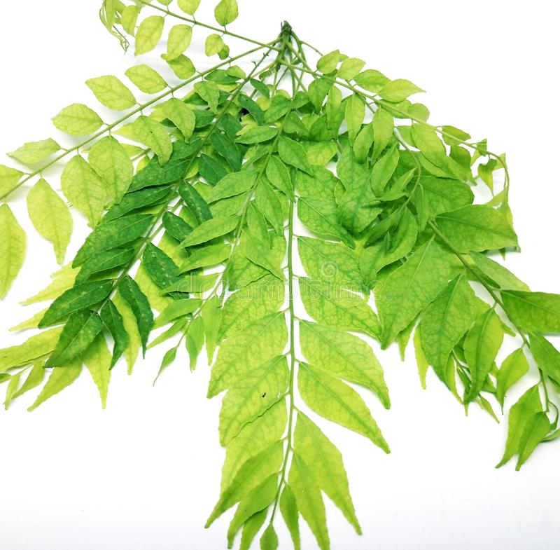 Curry leaves. This is beautiful curry leaves royalty free stock photo