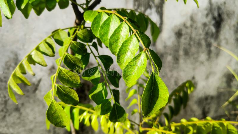 Curry leaves in bright sun stock images