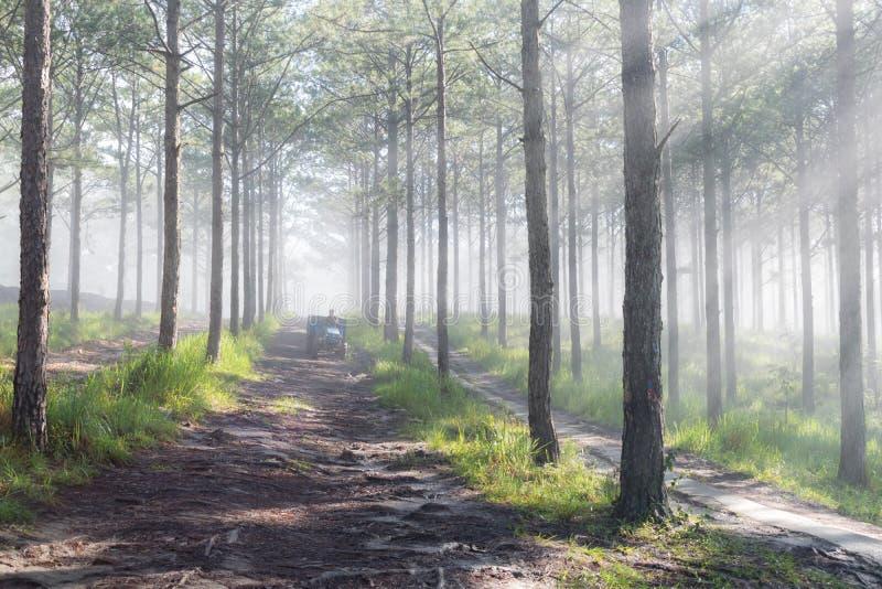 Curso na floresta do pinho da fuga, Vietnam da descoberta Fundo com raios de sol mágicos, luz, névoa densa e ar fresco fotografia de stock