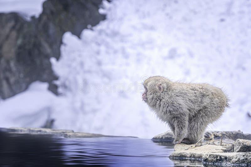 curso ?sia O macaco que salta na água O macaco japonês está embebendo no onsen Macaco vermelho-cheeked Durante o inverno, você po foto de stock royalty free