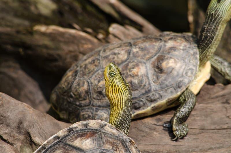 Cursore con le orecchie rosse immagine stock immagine di for Stagno per tartarughe
